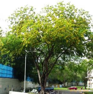 Pterocarpus indicus copy